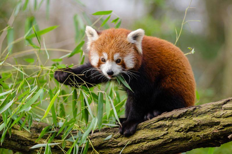 Малая панда. Этот симпатичный зверь размером с крупного домашнего кота своим полосатым хвостом похож на енота. За яркую шерсть его еще называют «огненной лисой», а за повадки — «кошачьим медведем».
