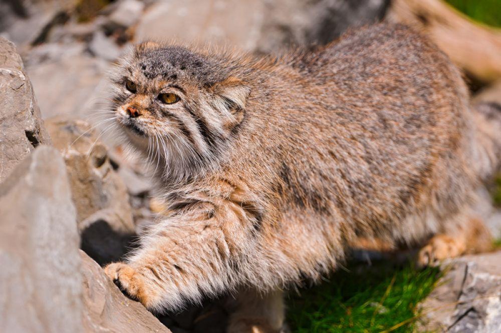 Манул. Этот дикий кот был символом Московского зоопарка до 2014 года. Манул не становится ручным, даже если выкормлен в неволе.