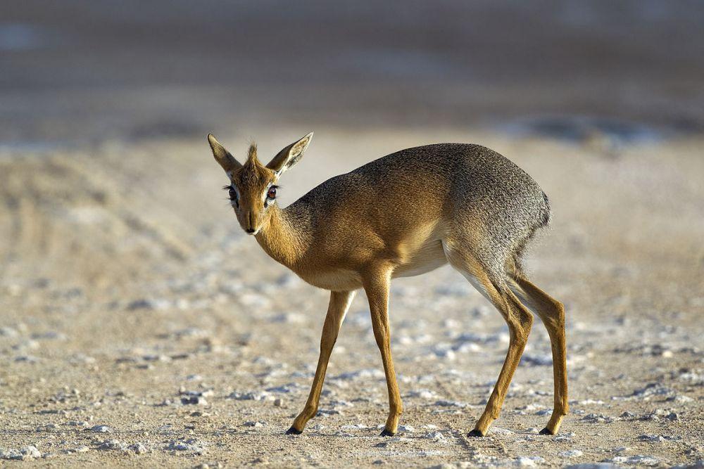 Антилопа дик-дик. Свое название мини-антилопы получили из-за характерных звуков, которые издают, если чувствуют опасность.
