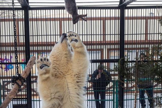 зоологи к потолку вольера подвешивают мягкую игрушку с каким-нибудь угощением внутри и медведица с удовольствием пытается её достать, вставая на задние лапы и подпрыгивая