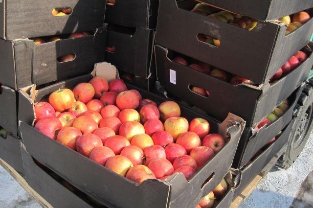 Запрещенные к ввозу польские яблоки часто изымают и уничтожают.