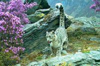 Снежный барс обитает в горах Центральной Азии.