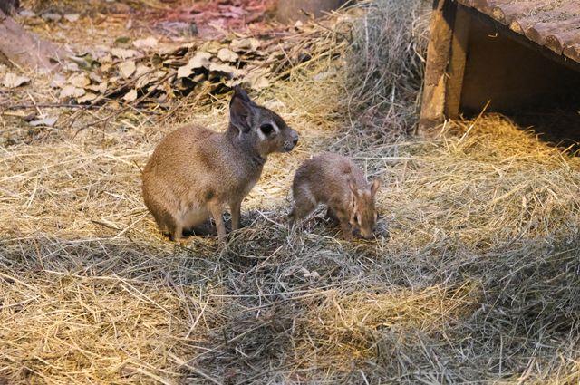 Малыши-мары иногда путают своих матерей — подбегают за молоком к другой самке.