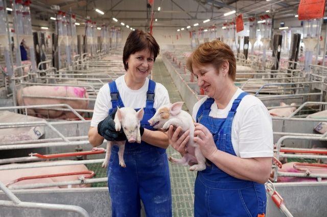 В 2019 году в Калининградской области вдвое увеличится производство свинины