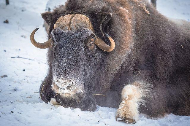 Овцебык появился на земле очень давно, возможно даже раньше, чем шерстистый носорог и мамонт.