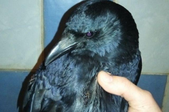 Егор просит неравнодушных красноярцев помочь спасти птицу