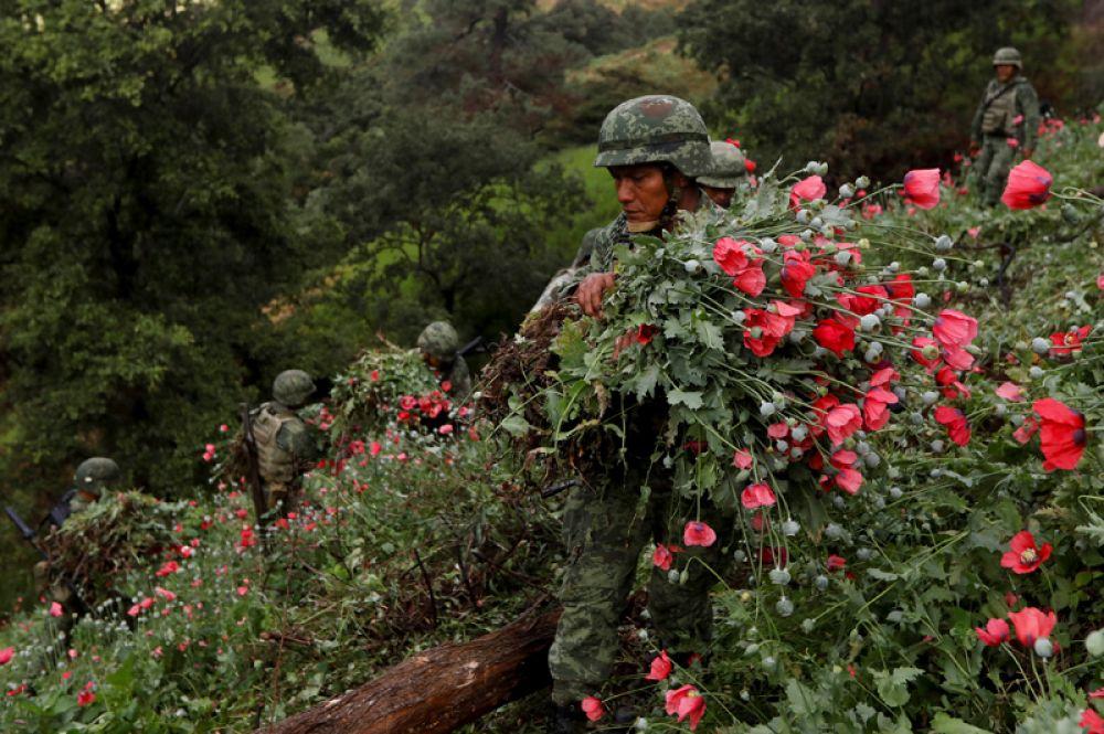 Солдаты уничтожают незаконные посадки опиумного мака в штате Герреро, Мексика.