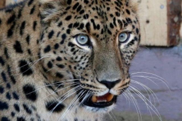 Леопард Кирин умывается и громко мурлыкает словно большая домашняя кошка.