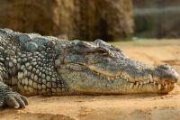 Живущий в Перми крокодил здоровый и хорошо ест.