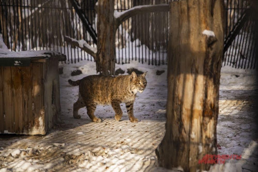 Рысь — самый северный вид из семейства кошачьих, она отлично выживает  среди снегов.