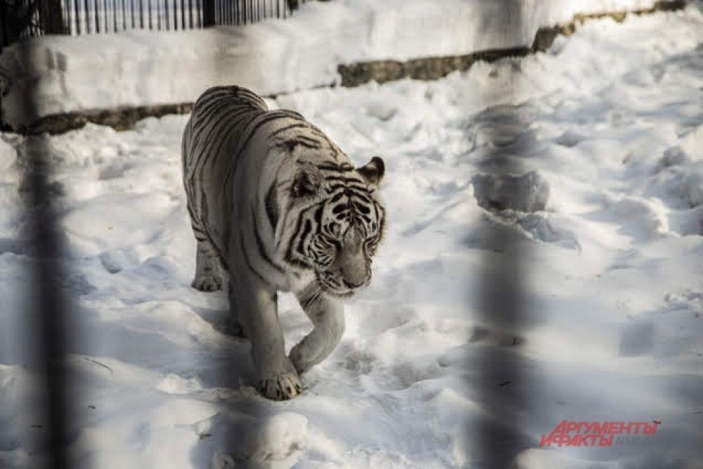 С приходом холодов работники зоопарка изменяют режим питания животных — кормят чаще, но меньшими порциями.
