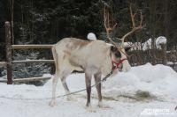 Северные олени могут переживать морозы до -60 градусов.