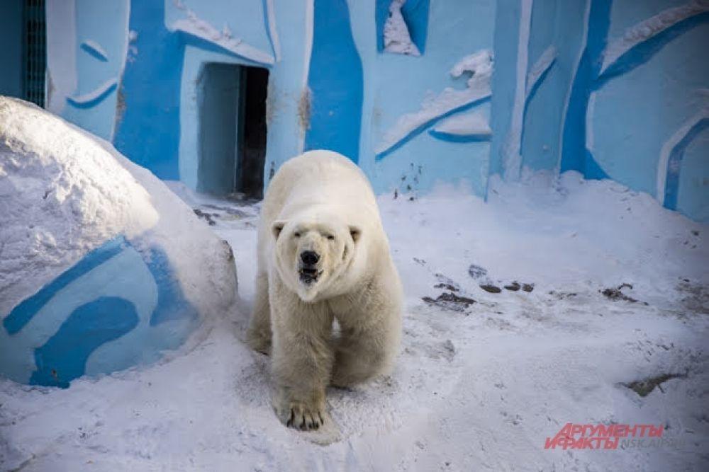 Кому точно зима в радость, так это белым полярным медведям. Зимние температуры — самые комфортные для них.