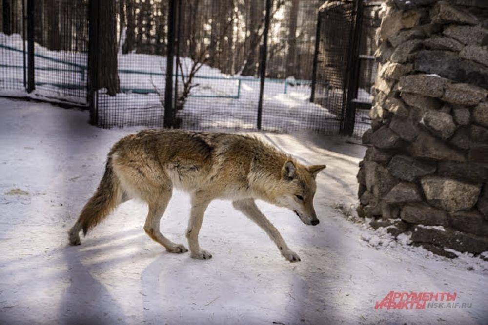 Привыкшие к холодам волки зимуют в своих уличных вольерах.