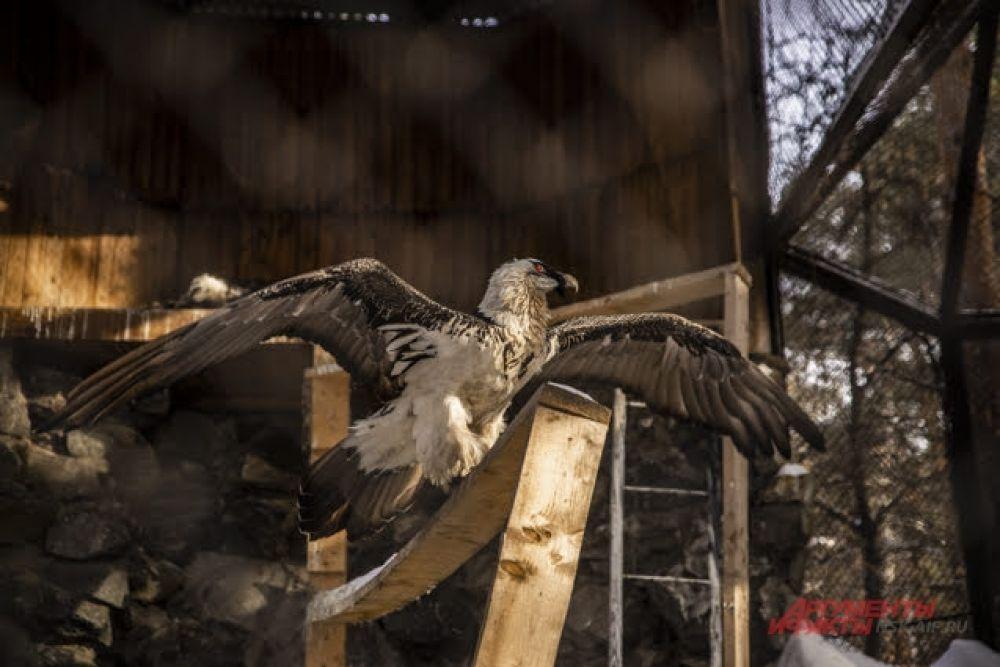 Большая проблема для хищных птиц зимой — поиск корма. В зоопарке таких забот у них нет.