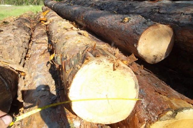 Чёрный лесоруб с бензопилой наведывался в лесной колок.