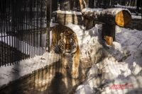 Амурских тигров сейчас можно увидеть в двух вольерах: на медвежьей аллее и за павильоном «Тропический мир».