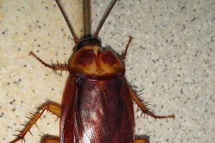 Вместе с русскими в Сибирь пришли тараканы