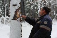 Всего в Яшкинском районе специалисты наметили 12 мест, где будут проводиться санитарные вырубки.
