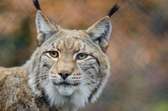 Популяция представителей кошачьих немногочисленна, поэтому охотников просят не трогать этих прекрасных лесных жителей.