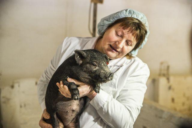 Привито около 90% свиней.