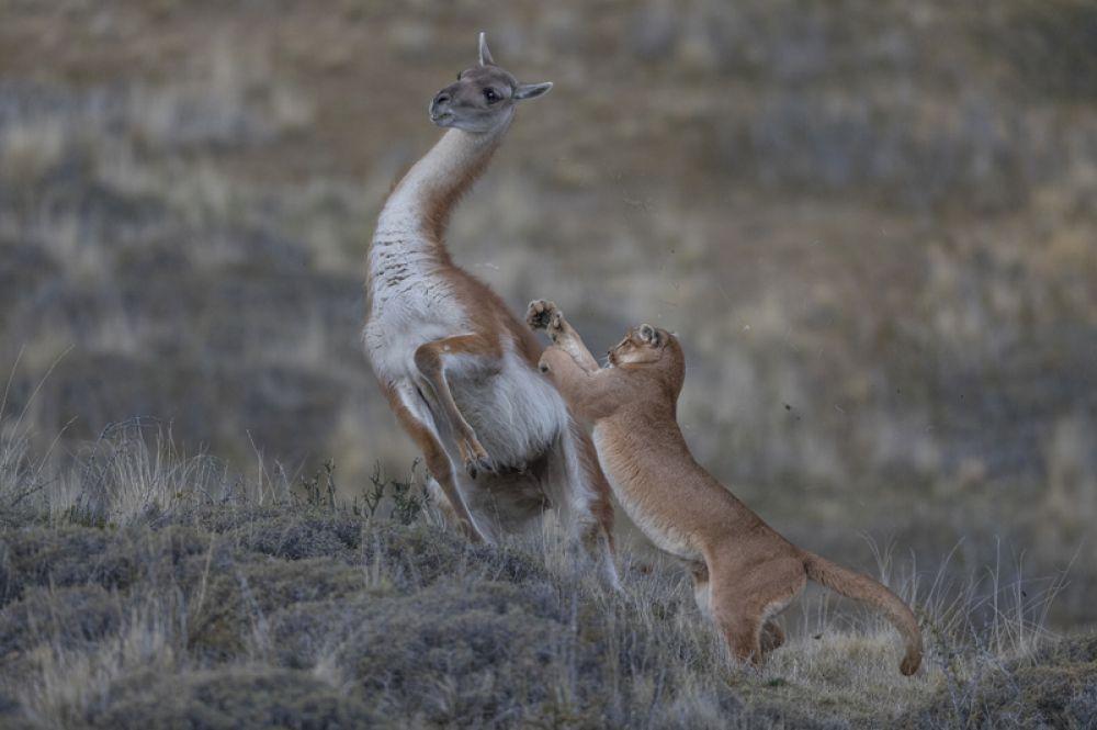 Самка пумы охотится на взрослого гуанако.