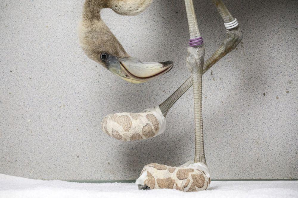 Карибский фламинго в импровизированных носках, созданных для того, чтобы помочь вылечить тяжелые повреждения стопы птицы, Кюрасао.