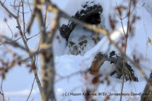 В феврале начались зимние периоды свадеб зайцев-русаков.