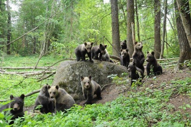 Ежегодно медвежата, оставшиеся без матери, попадают на реабилитацию в Торопецкий район Тверской области