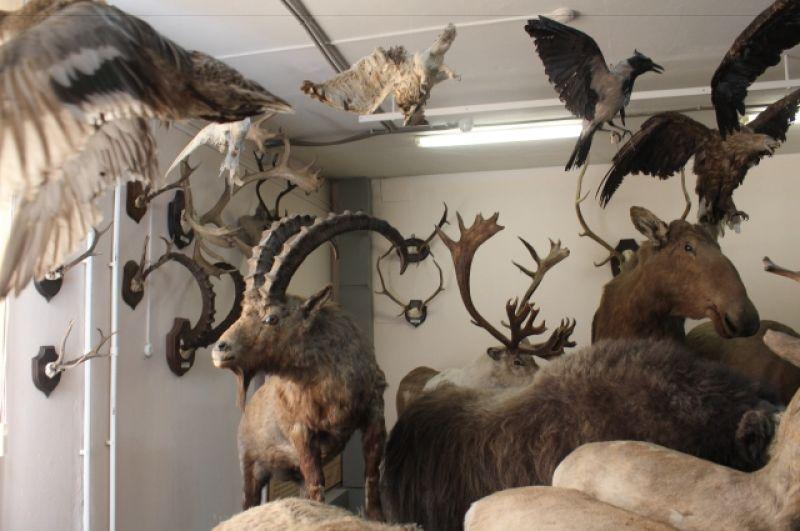 Коллекция чучел различных сибирских животных.