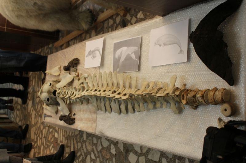Скелет белухи, которую выловили в начале 20 века в Енисее.