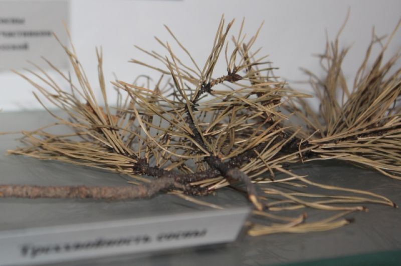 Ветки сосны с места падения Тунгусского метеорита.