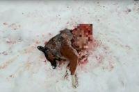 Ещё один случай, когда лесной хищник нападает на собак в посёлке.