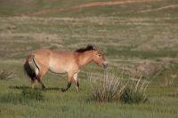 В этом году исполняется 120 лет с тех пор, как лошадь Пржевальского завезли на территорию Европы.