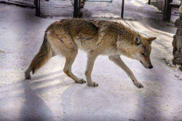 Горожане также жалуются, что уже несколько лет волки терроризируют весь Чердынский район.