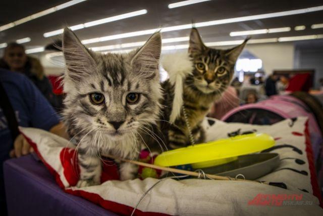 Кошки «копируют» черты и привычки хозяина - ученые - Real estate