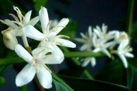 Цветки кофейного дерева.