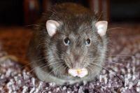 Стоит демонтировать приёмники мусора, как популяция крыс в разы уменьшается.
