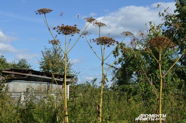 Борщевик - опасный ядовитый сорняк, вытесняющий полезные растения.