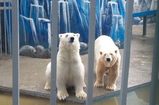 Медведи Милка и Сэрику искали свой корм по всему вольеру.
