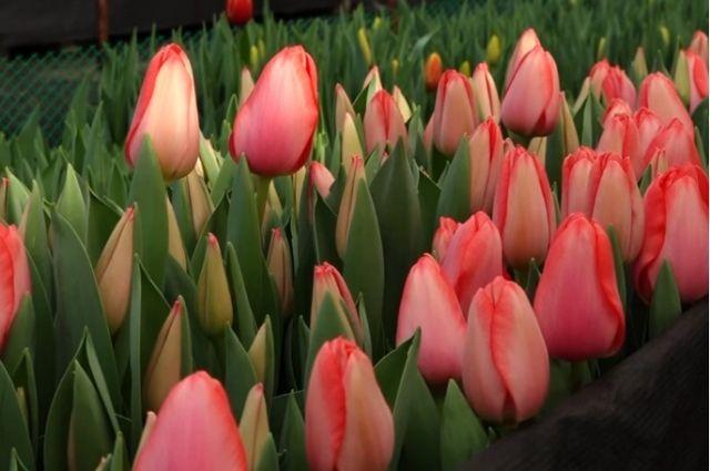 16 тысяч тюльпанов выставят на продажу к 8 марта в Хабаровске.