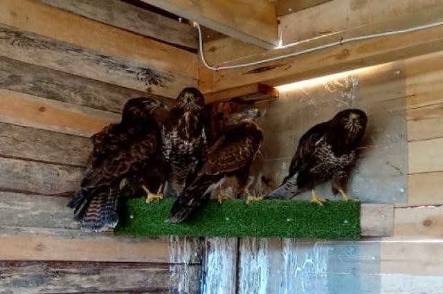 1 марта в парке «Куршская коса» выпустят вылеченных хищных птиц