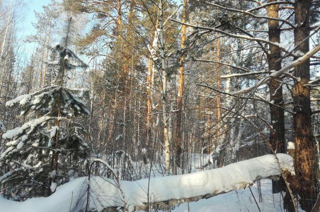 Лиственницы и березы попали под топор «черного лесоруба» в Комсомольске.