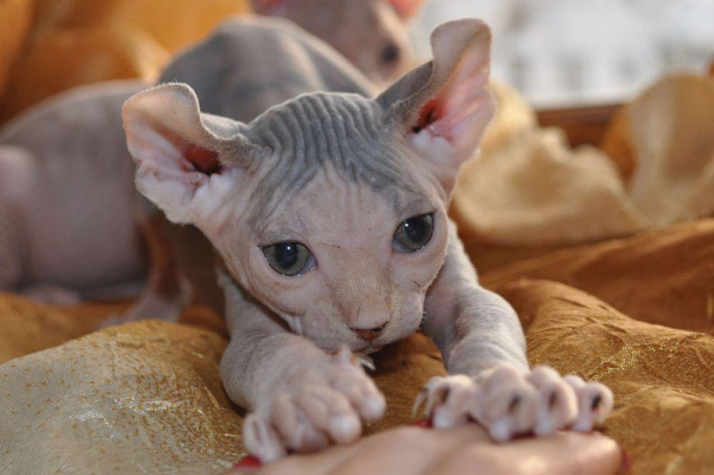 Эльф. Эту породу кошек выведели в США в 2006 году путем скрещивания американского керла и канадского сфинкса. Правда пока порода так и не получила признания ни в одной системе.
