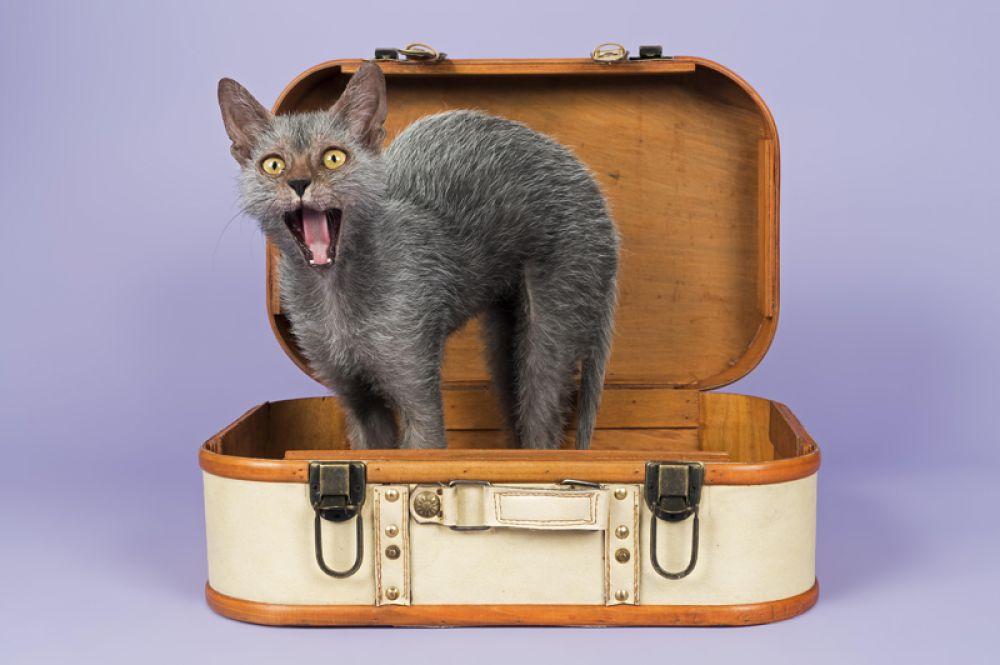 Ликой. Данная порода возникла вследствие естественной мутации шерсти домашней короткошерстной кошки, что придает животному вид, схожий с мифологическим оборотнем. Благодаря чему кошки и получили свое название. Впервые мутация была зафиксирована в США в 2010 году, а в 2012 году разработан стандарт породы, который был принят международной фелинологической федерацией TICA.