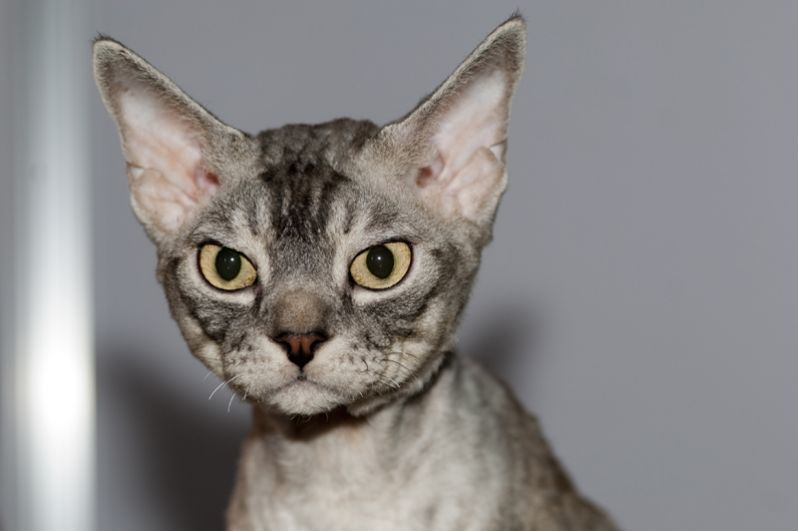 Девон-рекс. Первоначально считалось, что порода имеет родство с корниш-рексами, но эта гипотеза была опровергнута. В отличие от других кошек, девоны имеют очень короткие и сильно завитые усы, из-за чего может показаться, что они у них вовсе отсутствуют.