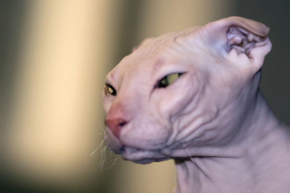Украинский левкой. Для получения этой породы донского сфинкса скрестили с шотландской вислоухой кошкой, из-за чего животные получили характерные уши.