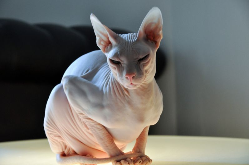 Донской сфинкс. Российская порода, выведенная в Ростове-на-Дону. Этих кошек отличает полное отсутствие шерсти.