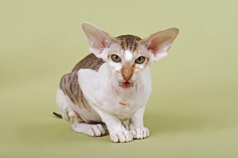 Питерболд. Порода была получена в 1994 году в Санкт-Петербурге (отсюда и название) в результате экспериментальной вязки донского сфинкса и ориентальной кошки. Питерболды имеют характерную длинную морду и большие, разведенные в стороны уши.