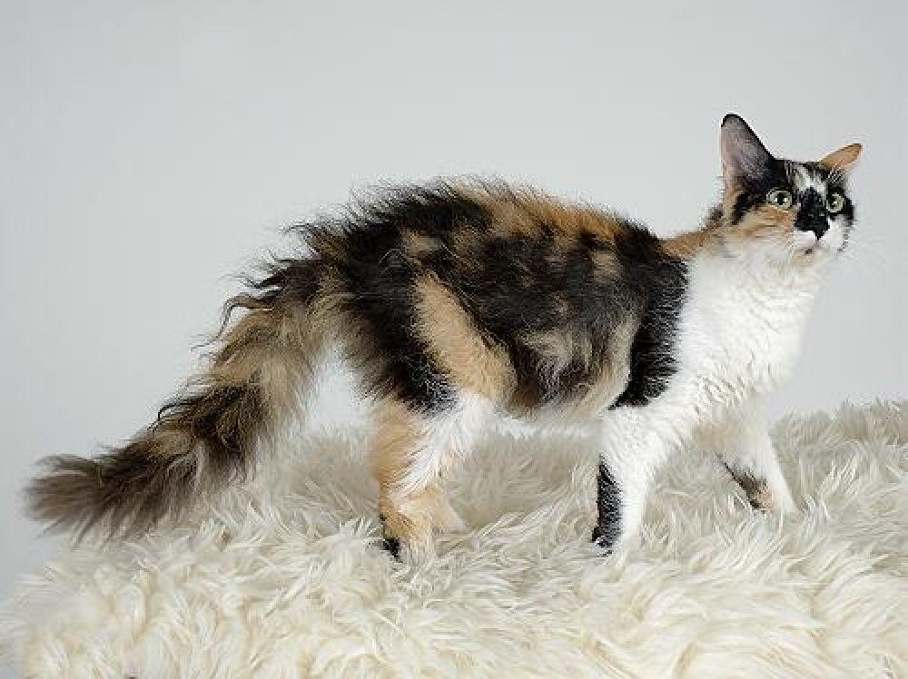Лаперм. Отличительной чертой этих кошек является волнистая шерсть, которая по стандартам породы должна выглядеть даже неряшливо.